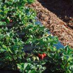 The 2020 Strawberry Season is Starting a Bit Differently